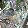WHISKERED PITTA <i>Pitta kochi</i> Northern Sierra Madre, Luzon, Philippines
