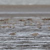 GREY PLOVER <i>Pluvialis squatarola</i> Tibsoc, San Enrique, Negros Occidental