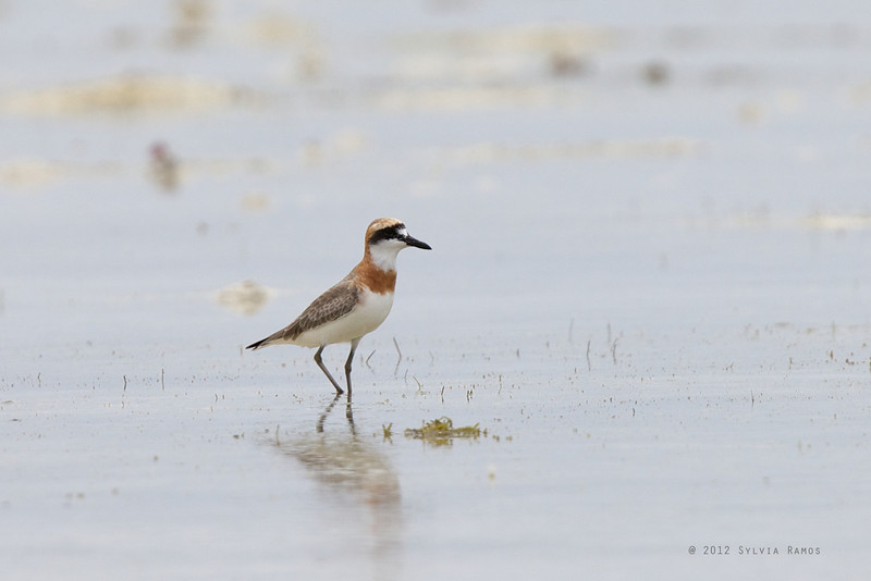 GREATER SAND PLOVER, breeding plumage <i>Charadrius leschenaultii</i> Olango Island, Cebu, Philippines