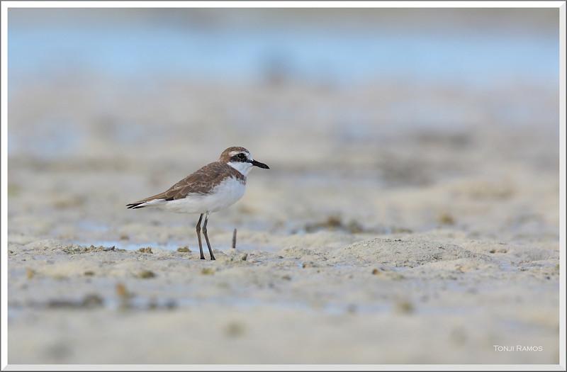 GREATER SAND PLOVER <i>Charadrius leschenaultii</i> Olango Island, Cebu, Philippines