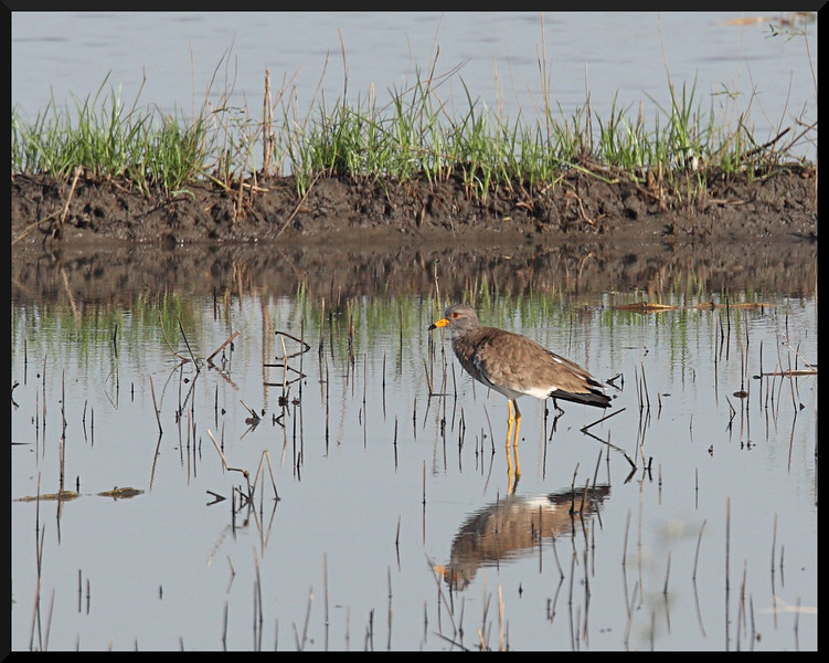 GREY-HEADED LAPWING <i>Vanellus cinereus</i> Candaba, Pampanga, Philippines
