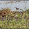 GREY-HEADED LAPWING <i>Vanellus cinereus</i> Candaba, Pampanga, Philippines