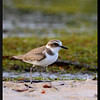 KENTISH PLOVER<br /> <br /> Tara Island, Palawan, Philippines