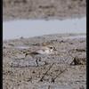 KENTISH PLOVER <i>Charadrius dubius</i> Candaba, Pampanga, Philippines