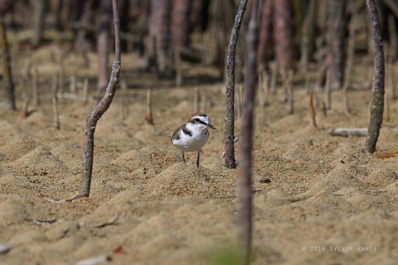 KENTISH PLOVER, breeding plumage <i>Charadrius dubius</i> Cowrie Island, Palawan