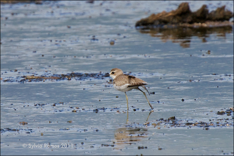 LESSER SAND PLOVER <i>Charadrius mongolus</i> Tanjay, Negros Oriental, Philippines