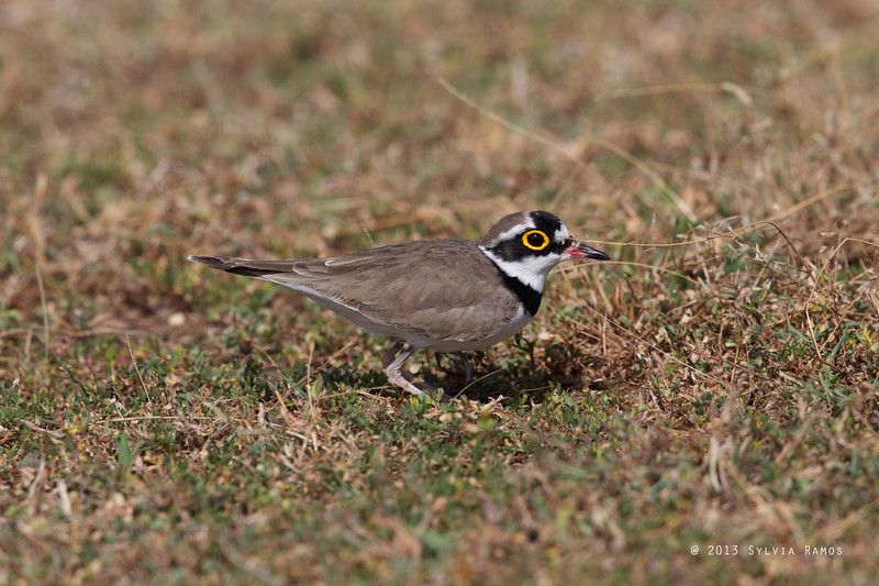 LITTLE RINGED PLOVER, breeding plumage <i>Charadrius dubius</i> Laoag, Ilocos Norte