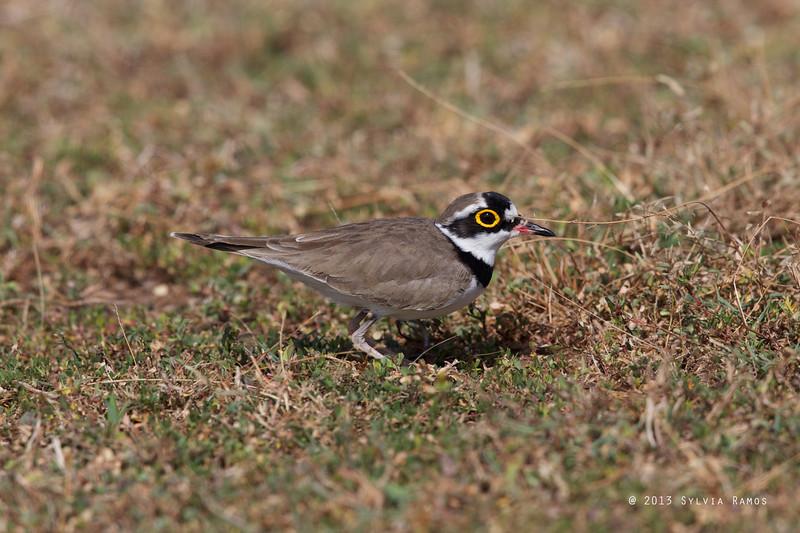 LITTLE RINGED PLOVER, breeding plumage <i>Charadrius dubius</i> Laoag, Ilocos Norte