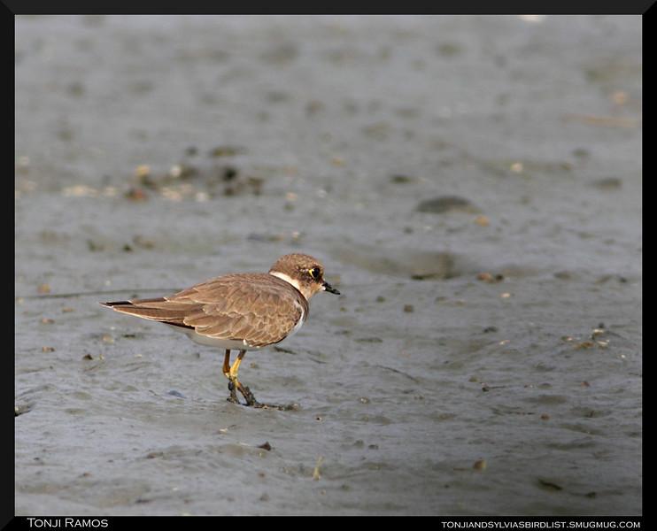 LITTLE RINGED PLOVER <i>Charadrius dubius</i> Coastal Lagoon, Manila Bay, Philippines
