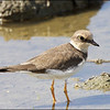 LITTLE RINGED PLOVER <i>Charadrius dubius</i> Candaba, Pampanga, Philippines