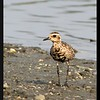 PACIFIC GOLDEN PLOVER <i>Pluvialis fulva</i> Coastal Lagoon, Manila Bay, Philippines