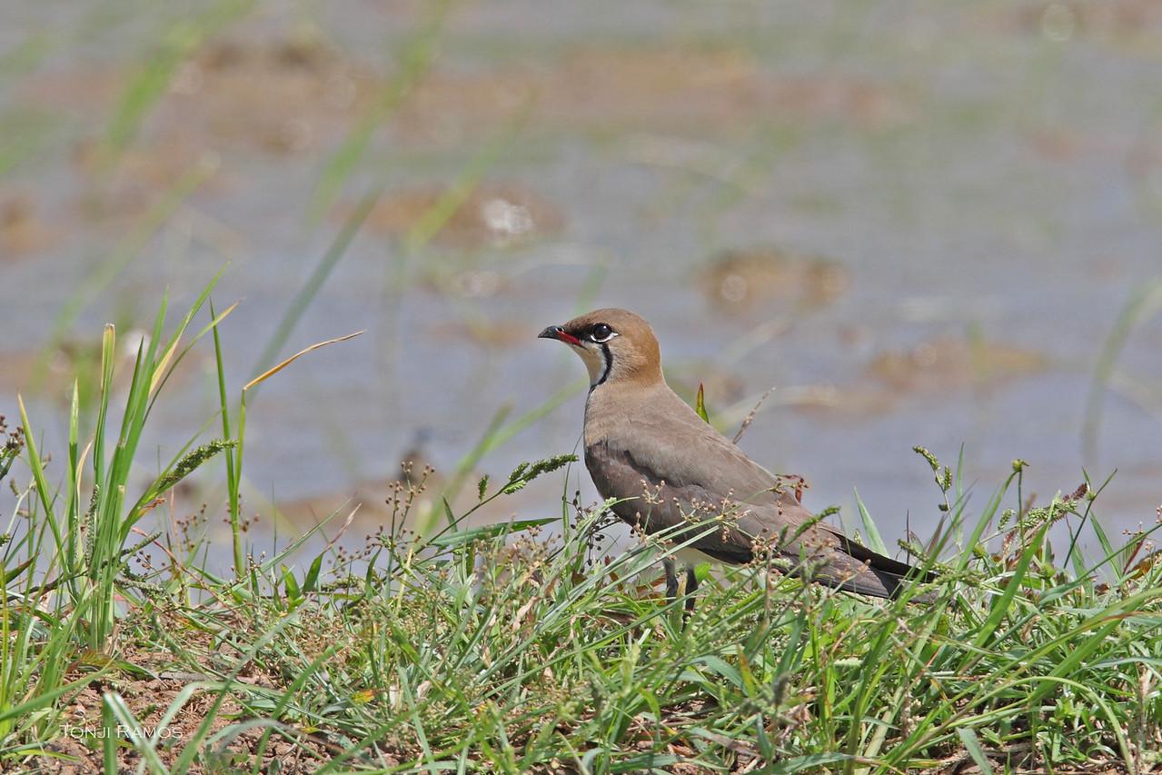 ORIENTAL PRATINCOLE, breeding plumage  <i>Glareola maldivarum</i> Los Banos, Laguna, Philippines