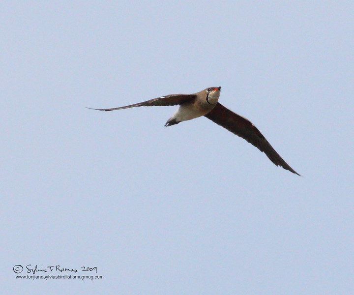,ORIENTAL PRATINCOLE, breeding plumage  <i>Glareola maldivarum</i> Manila Bay, Philippines