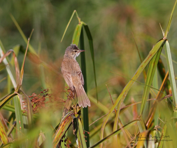 CLAMOROUS REED WARBLER <i>Acrocephalus stentoreus</i> Southwoods Golf Club, Cavite, Philippines
