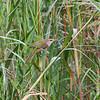 ORIENTAL REED-WARBLER <i>Acrocephalus orientalis</i> Laoag, Ilocos Norte