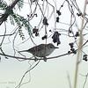 ORIENTAL REED-WARBLER <i>Acrocephalus orientalis</i> Candaba, Pampanga, Philippines