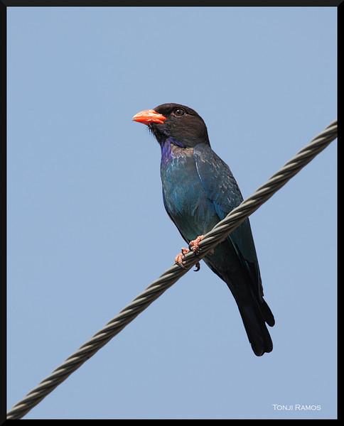 DOLLARBIRD <i>Eurystomus orientalis</i> Subic, Zambales, Philippines
