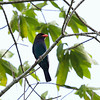 DOLLARBIRD <i>Eurystomus orientalis</i> Puerto Princesa, Palawan