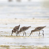 ASIAN DOWITCHER <i>Limnodromus semipalmatus</i> Olango, Cebu, Philippines