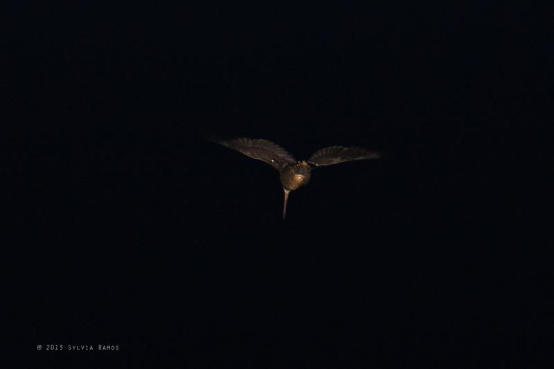BUKIDNON WOODCOCK  <i>Scolopax bukidnonensis</i> Mt. Kitanglad, Bukidnon, Mindanao