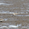 BROAD-BILLED SANDPIPER <i>Limcola falcinellus</i> Tibsoc, San Enrique, Negros Occidental