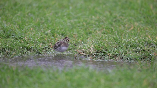video  COMMON SNIPE <i>Gallinago gallinago</i> Batan, Batanes, Philippines