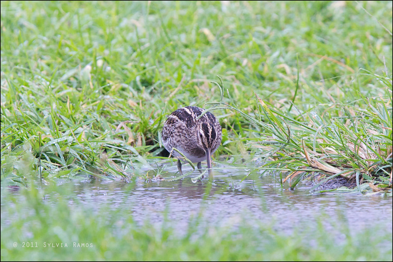 COMMON SNIPE <i>Gallinago gallinago</i> Batan, Batanes, Philippines