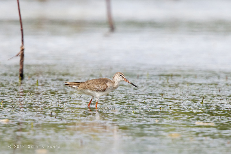 COMMON REDSHANK, breeding plumage <i>Tringa totanus</i> Olango, Cebu, Philippines
