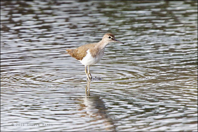 COMMON SANDPIPER <i>Actitis hypoleucos</i> Tanjay, Negros Oriental, Philippines