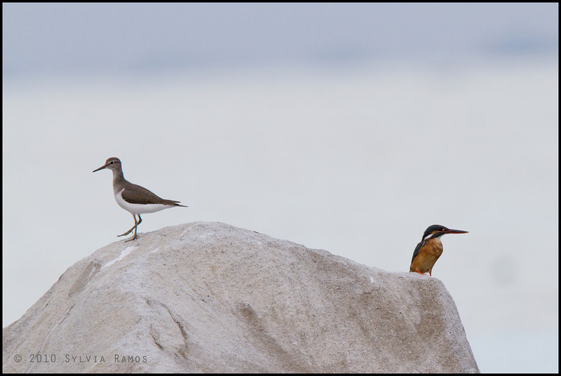 COMMON SANDPIPER <i>Actitis hypoleucos</i> Coastal Road Lagoon, Manila Bay, Philippines  the bird on the right is a Common Kingfisher