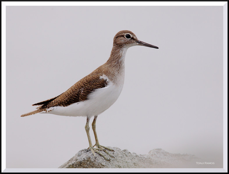COMMON SANDPIPER <i>Actitis hypoleucos</i> Coastal Road Lagoon, Manila Bay, Philippines
