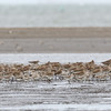 GREAT KNOT <i>Calidris tenuirostris</i> Tibsoc, San Enrique, Negros Occidental