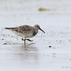 GREAT KNOT, breeding plumage <i>Calidris tenuirostris</i> Olango, Cebu, Philippines