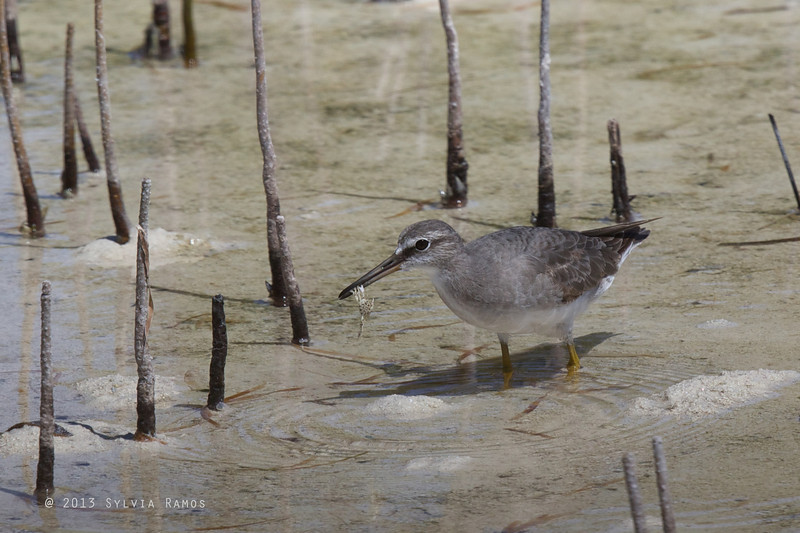 GREY -TAILED TATTLER <i>Heteroscelus brevipes</i> Olango Island, Cebu, Philippines