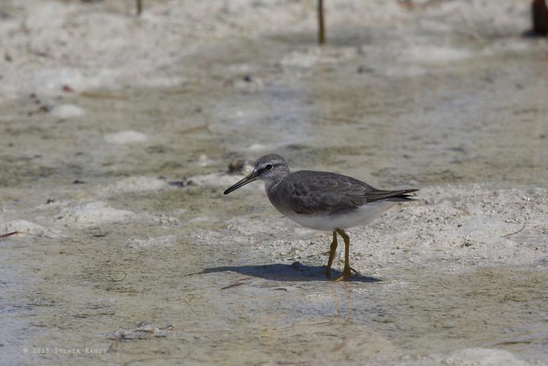 GREY -TAILED TATTLER <i>Heteroscelus brevipes</i> Olango Island, Cebu, Philippines