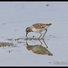 LONG-TOED STINT <i>Calidris ruficollis</i> Candaba, Pampanga, Philippines