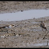 LONG-TOED STINT beside a KENTISH PLOVER <i>Calidris ruficollis</i> Candaba, Pampanga, Philippines
