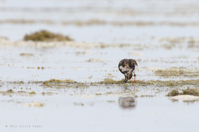 RUDDY TURNSTONE, breeding plumage <i>Arenaria interpres</i> Olango, Cebu, Philippines  turning over a stone