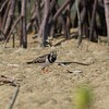 RUDDY TURNSTONE <i>Arenaria interpres</i> Cowrie Island, palawan