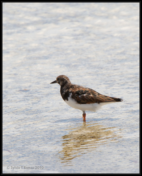 RUDDY TURNSTONE <i>Arenaria interpres</i> Olango, Cebu, Philippines
