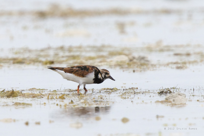 RUDDY TURNSTONE, breeding plumage <i>Arenaria interpres</i> Olango, Cebu, Philippines