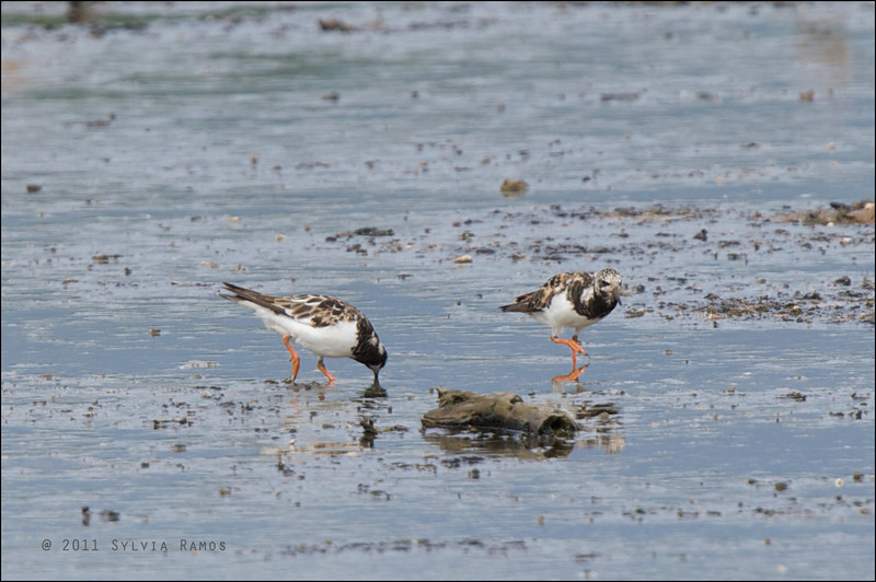 RUDDY TURNSTONE <i>Arenaria interpres</i> Tanjay, Negros Oriental, Philippines
