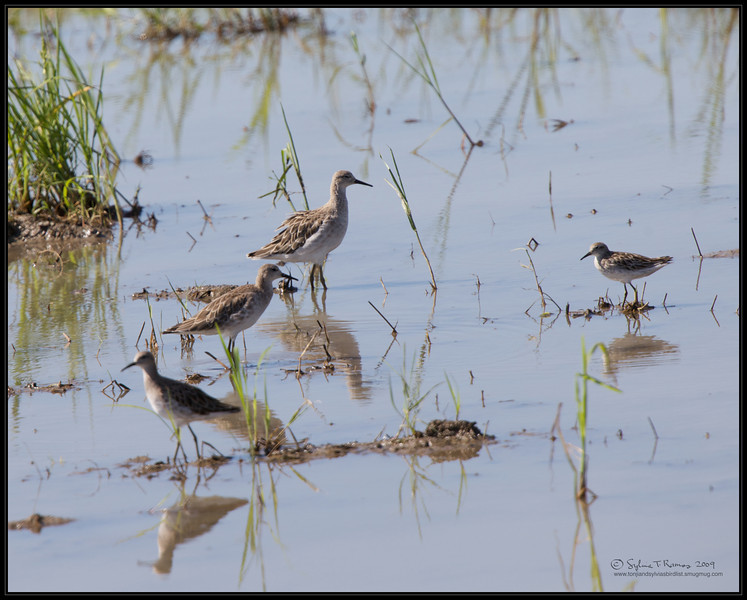 RUFF (REEVE) <i>Philomachus pugnax</i> Candaba, Pampanga, Philippines  The one on the rightmost is a different bird, I think it's a Long Toed Stint.