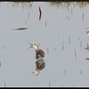 RUFF (REEVE) <i>Philomachus pugnax</i> Candaba, Pampanga, Philippines