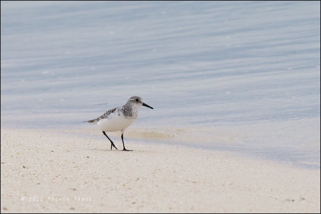 SANDERLING <i>Calidris alba</i> Tubbataha Reef, Sulu Sea, Philippines