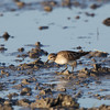 SHARP-TAILED SANDPIPER <i>Calidris acuminata</i> Candaba, Pampanga, Philippines