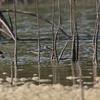TEREK SANDPIPER <i>Xenus cinereus</i> Cowrie Island, Palawan