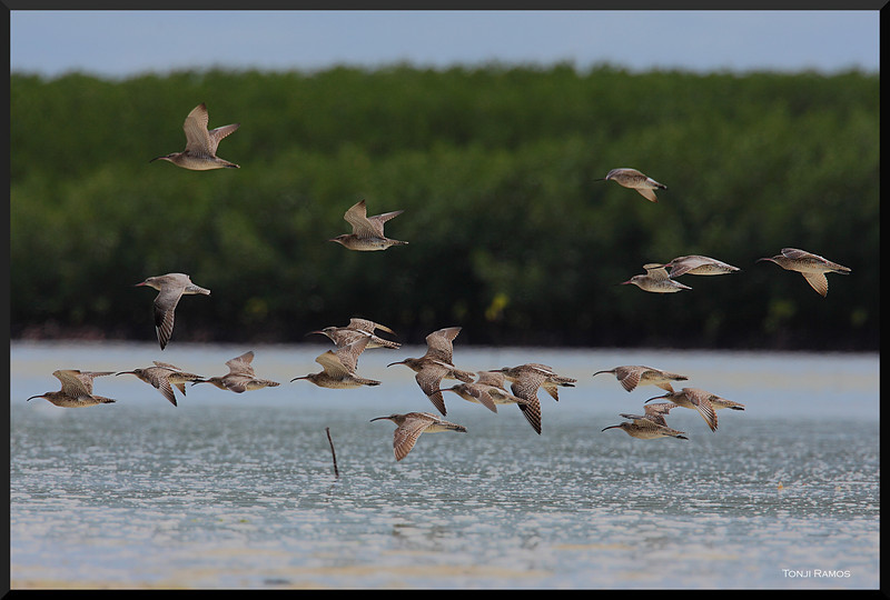 WHIMBREL <i>Numenius phaeopus</i> Olango Island, Cebu, Philippines  This is a mixed flock, mostly Whimbrels with three Bar-tailed Godwits.