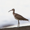 WHIMBREL <i>Numenius phaeopus</i> Caylabne, Cavite, Philippines
