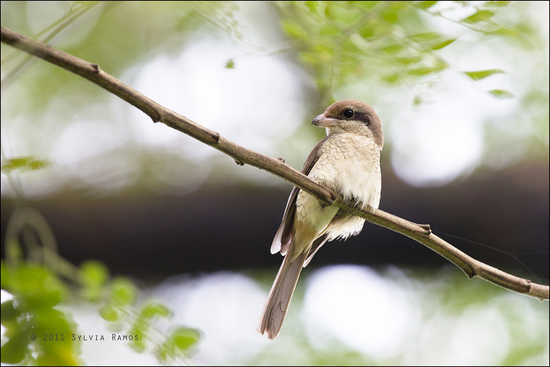 BROWN SHRIKE <i>Lanius cristatus</i> UP Diliman, Quezon City